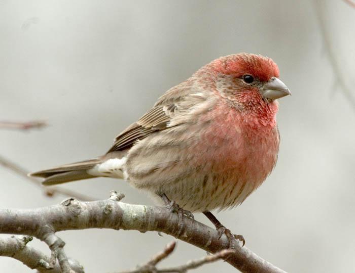 Red-finch-on-branch
