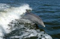 Bottlenose_dolphin_ksc04pd0178_2